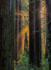Remnants of Days Past, Del Norte Redwoods State Park (Light of the Moon Photography) Tags: california park morning del sunrise state god national redwoods rays norte rhododendrons