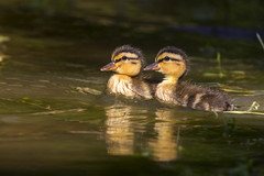 Mallard Chicks (Stephen J Pollard (Loud Music Lover of Nature)) Tags: anasplatyrhynchos patodecollar mallard polluelo chick bird ave duck pato nature naturaleza fauna wildlife