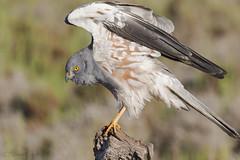 _NAT2498 (VictorD7000) Tags: espaa nature birds fauna birding aves alicante birdwatching torrevieja montagusharrier circuspygargus rapaces reproductoras migratorias aguiluchocenizo nikond7200 sigma150600sport pnlagunasdelamatatorrevieja