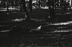 img862 (MZ163) Tags: bw dog tree film monochrome spring samara ilfordpanf50 leicar8 summiluxr5014