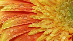 11 23 2015 Ee Texture (srypstra) Tags: flower water drops vibrant