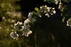 Apple (Elliott Bignell) Tags: pink white apple schweiz switzerland spring suisse blossom ostschweiz blumen svizzera blume rheintal blte apfel frhling blten blhen walenstadt rheinvalley blht