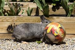 Rabbit. (Escursso) Tags: rabbit conejo roger conill