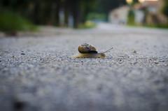Lumachina in transito. (LuciaR.Photo) Tags: nikon focus strada bokeh natura dettagli lumaca animale camminare strisciando lumachino