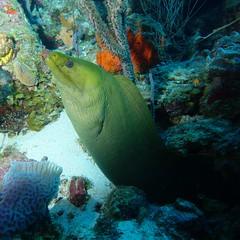 Green Murray Eel (Wim Bollein) Tags: ocean nature water animal underwater sony scuba diving reef curaao ikelite rx100mii greenmurrayeel