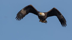 Heading in with Its Meal (ken.krach (kjkmep)) Tags: eagle