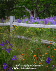 New Hampshire Wildflowers (Bill Wakeley) Tags: trees tree floral fence glow purple country relaxing newengland fences pasture ethereal serene wildflowers pastoral florals wildflower purpleflower lupine purpleflowers lupines countryfence newenglandlandscapes newenglandlandscape countryfences sugarhillnewhampshire billwakeley