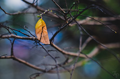 Survivor. (A. adnan) Tags: china color nature one leaf nikon alone dof branches 85mm guangdong lonely zhongshan survivor nikon85mmf18 nikon85mmf18d d7000 gettyimageschinaq12012