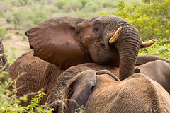 I want to be in the picture.... (gerdavs) Tags: elephant olifant loxodontaafricana specanimal