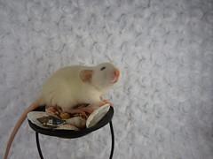 Black Eyed Himalayan Dumbo Doe (CSBeck) Tags: pet baby cute rodent rat kitten bub himalayan rattie pointed himi ritten ratlet