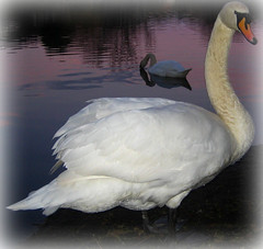 Me and the wife..... (Bob T...) Tags: art me nature water swan flickr wildlife feathers bob swans wife and bobthompson thompson the wildbirdsofbritain dblringexcellence