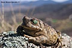 Epidalea calamita (David Herrero Glez.) Tags: frog toad sapo amphibians corredor bufo calamita anfibios anuros epidalea toadorea