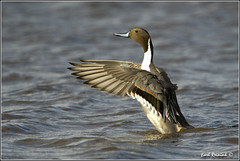 "Pintail Duck (20120319-5205) (Earl Reinink) Tags: ontario canada bird art nature birds photography landscapes duck nikon canadian niagara earl waterfowl bif ""bird ""nikon ""niagara photography"" ""birds ""nature ontario"" ""landscape ""fine duck"" ""earl peninsula"" flight"" lenses"" d3"" d3s"" reinink"" ""pintail"