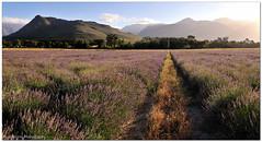 Lavender Path Panorama (Panorama Paul) Tags: sunset panorama farm lavender franschhoek nohdr sigmalenses nikfilters nikond300 wwwpaulbruinscoza paulbruinsphotography