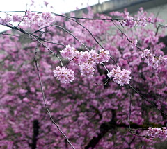 72:366 Floating in Pink (Larissa84*) Tags: pink trees portland spring bokeh blossoms happiness fremont 405 plumblossoms 366 project366 march366 ithinkthisisaplumtree attemptingapoem