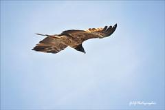 Gypate barbu (Gil Gautier @GilGPhotographie) Tags: nature vercors drome ornithologie tussac rmuzat gypatebarbu gypaete ornithologue gilgphotographie