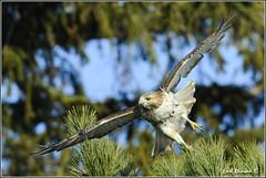 "Red-Tailed Hawk (201201131-1426) (Earl Reinink) Tags: ontario canada bird art nature birds photography landscapes nikon hawk flight canadian niagara earl bif ""bird ""nikon ""niagara photography"" ""birds ""nature ontario"" ""landscape ""fine ""earl peninsula"" flight"" lenses"" hawk"" ""redtailed d3"" ""hawk d3s"" reinink"""