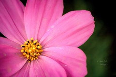 Gold stars .. !! (    , ) Tags: pink flowers flower nature beautiful canon wonderful gold star awesome pinky 600 doha qatar t3i   qtr   600d    ameera      q6r  amoora           h