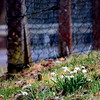 morning walk (galerie morgenstern) Tags: fence snowdrops galeriemorgenstern fencefriday cmorgenstern