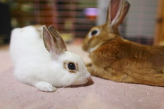Please stay with Me  ( Spice (^_^)) Tags: pet pets rabbit bunny bunnies eye animal japan nose asia ears whiskers  rabbits companion  saitamaken      digitalcameraclub netherlanddwarfrabbit   kasukabeshi   miniusagi   mygearandme       gettyimagesjapan12q1
