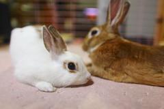 Please stay with Me ♥ (♥ Spice (^_^)) Tags: pet pets rabbit bunny bunnies eye animal japan nose asia ears whiskers 日本 rabbits companion 動物 saitamaken 写真 うさぎ 兎 可愛い 埼玉県 digitalcameraclub netherlanddwarfrabbit キャノン 春日部市 kasukabeshi コンパニオン ペット miniusagi カラー ウサギ mygearandme ラビット バニー アニマル みにうさぎ ミニウサギ ネザーランドドワーフラビット gettyimagesjapan12q1