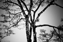 Tree Love (aleemsm) Tags: bw tree hugging bhutan twotrees