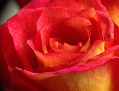 Rosy Rose (Chrissie28IWish! ~ hubby passed away 5th Dec peace) Tags: red orange flower macro rose yellow closeup petals cut ngc curl curve raynox floal