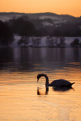 Beautiful elegance (bhawi) Tags: winter nature silhouette reflections landscape swan lowlight dof dusk snowy lakedistrict cumbria lakewindermere grrrr highiso hcs somethingsimpletoday happyclichesaturday thereiwaswiththesoleintentionofshootinglandscapes andtheswanskindagrabbedmyattentionandiendedupshootingover300imagesofjustthem