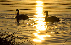 GOLDEN SWAN SUNSET (jdoakey) Tags: uk greatbritain sunset england sky colour reflection bird reed water beautiful animal silhouette swimming swim reflections reeds golden swan pretty waves moody colours view britain dusk gorgeous pair sony tail great norfolk beak feathers scenic feather sunny calm swans stunning norwich british lovely february splash alpha gliding dslr favourite fen animalplanet atmospheric oakley tailed clearsky glassy bullrushes reedbed splashing bullrush calmwater strumpshaw a55 thewildlife strumpshawfen flickraward avianexcellence dslt sal70400g sony70400 flickraward flickraward5 flickrawardgallery sonya55 theinspirationgroup