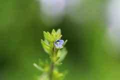 speedwell (louisa_catlover) Tags: blue summer plants flower macro nature closeup canon garden eos weed dof little bokeh australian australia melbourne 100mm tiny wildflower dandenongs macrolens speedwell kalorama 60d nativeplantgarden karwarra