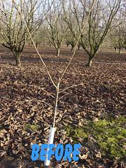 3116 filbert pruning (growing hazelnuts) Tags: pruning filberts