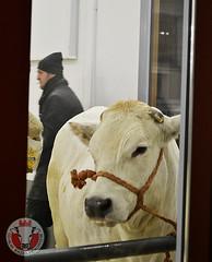 b (Coalvi Consorzio di Tutela della Razza Piemontese) Tags: bue grasso piemontese bovina razza carr coalvi
