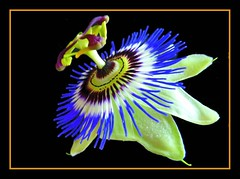 Passion Flower (Cathpetsch) Tags: flower macro nature closeup garden niceshot passionflower bouquets autofocus wow1 wow2 wow3 wow4 passiebloem thegalaxy panasonicdmctz6 doubleniceshot tripleniceshot mygearandme silveramazingdetails goldamazingdetails flickrstruereflection1 flickrstruereflection2 flickrstruereflection3 flickrstruereflection4 flickrstruereflection5 4timesasnice 6timesasnice 5timesasnice 7timesasnice niceasitgets redcarpethalloffame flickrsfinestimages1