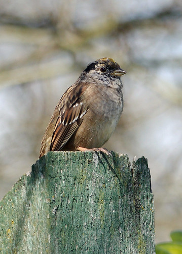 Gold Crown Sparrow - Reifel