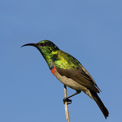 Southern Double-collared Sunbird (Craig Adam Photography (Mostly Offline)) Tags: cc creativecommons sunbird southerndoublecollaredsunbird cinnyrischalybeus allofnatureswildlifelevel1