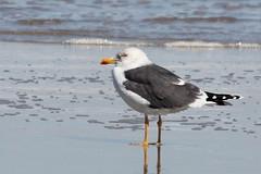 Lesser Black-backed Gull (Tombo Pixels) Tags: bird canon newjersey gull nj lesserblackbackedgull seagirt twb1 seagirt120125