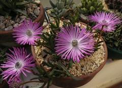 Cephalophyllum spissum