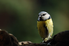 Cinciarella di vedetta (Giacomo Gaudenzi) Tags: nature birds natura uccelli bologna avifauna mora parus cincia cinciarella