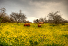 Last Days of Winter (Or Hiltch) Tags: winter horses nature yellow spring explore golanheights