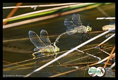 Dragonflies mating (Weg's Wildlife) Tags: dragonflies dragonfly insects minibeasts animalsmating andrewwegener