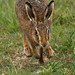 Brown hare 2 NottsWT (cpt Sean Browne)