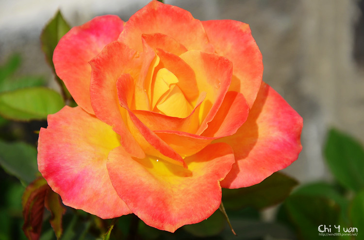 2012士林官邸玫瑰季18.jpg