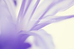Agapanthus (KimFearheiley) Tags: macro texture floral agapanthus senorita extensiontube florabella kimfearheileyphotography