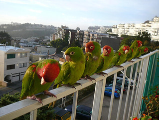 Wild Parrot San Francisco