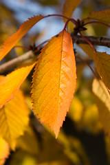 Autumn Leaves (David S Wilson) Tags: autumn england fall ely lightroom flowersplants lr3 2011 sonynex davidswilson