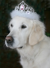 My golden princess (Ingrid0804) Tags: tiara goldenretriever princess royal posing retriever crown beautyqueen regal goldenprincess dignified diadem saariysqualitypictures princessditteofdenmark ohdittewhatyouhavetoputupwith