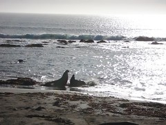 "Elephant seals, Big Sur, California. • <a style=""font-size:0.8em;"" href=""http://www.flickr.com/photos/75840380@N06/6961754069/"" target=""_blank"">View on Flickr</a>"