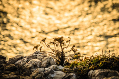 Lonely (_Rjc9666_) Tags: golden nikon 414 38 sagres flowersplants nikon55200 d5100 nikond5100 ruijorge9666