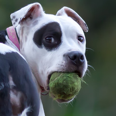 """It''s my ball and I'll fight anyone to prove it!"" (Steve-h) Tags: park pink ireland portrait dublin dog white black green anima"