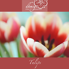 Tulip festival (dhmig) Tags: flowers light red italy stilllife orange milan flower macro nature colors beauty closeup petals spring nikon dof tulips bright secret details softness happiness naturallight indoor center tulip bloom opening springtime lookinside vibrantcolors 50mmf28 fragility nikond7000 dhmig dhmigphotography